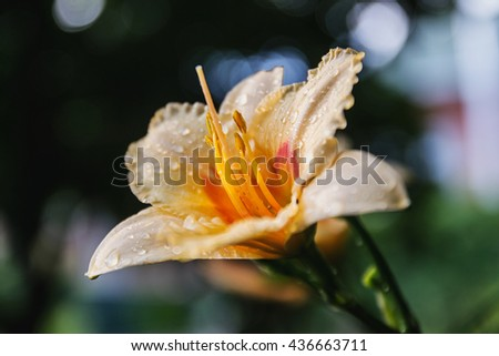 Hemerocallis. Closeup of the blooming flower with dewdrops - stock photo