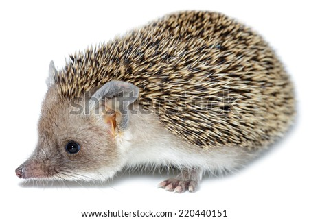 Hemiechinus auritus, Long-eared hedgehog in front of white background, isolated - stock photo