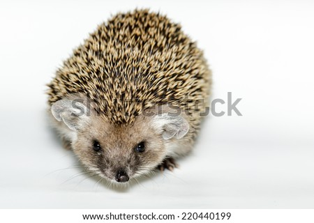 Hemiechinus auritus, Long-eared hedgehog in front of white background, isolated