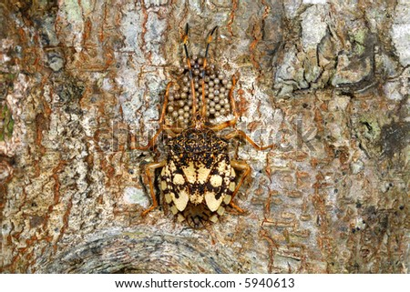 Hemipteran bug with eggs on tree trunk