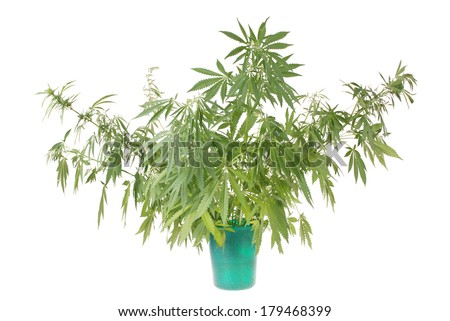 Hemp (cannabis) in the bucket  on white background - stock photo