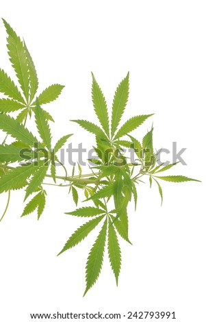 Hemp (cannabis) isolated on white background - stock photo
