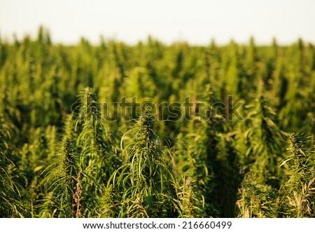 hemp field on the prairies - stock photo