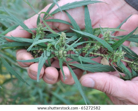 hemp in his hand - stock photo