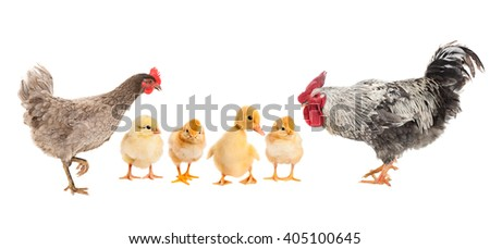 Hen and Rooster consider duckling, who is with chickens. isolated - stock photo