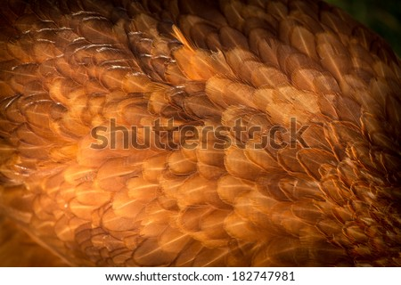 hen feathers detail  - stock photo