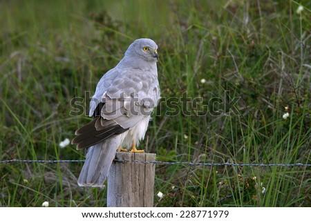 hen harrier - stock photo