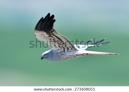 hen harrier (Circus cyaneus)  flying - stock photo