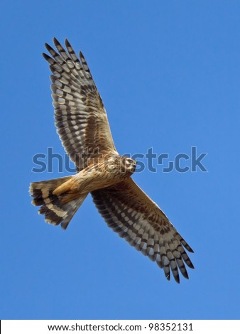 Hen Harrier flying at the blue sky - Circus cyaneus - stock photo