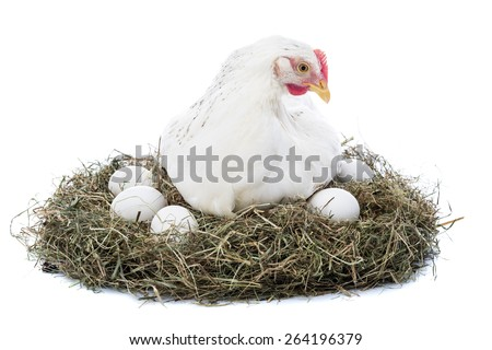 Hen in nest isolated on white - stock photo