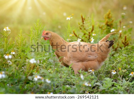 hen in the green grass - stock photo