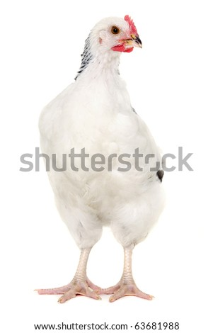 Hen is standing and looking on a white background. - stock photo