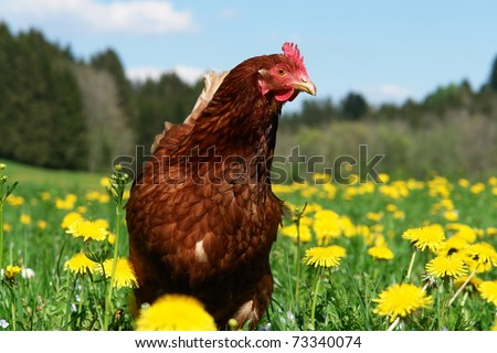 Hen outside in the meadow at springtime - stock photo