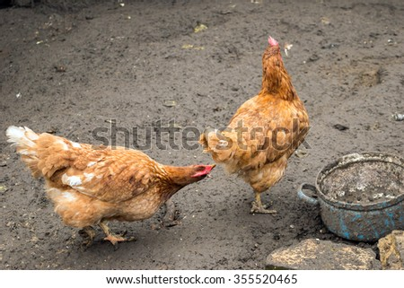 Hen pecking, feather eating, cannibalism (Social behaviour to estabilish a position in social hierarchy) - stock photo
