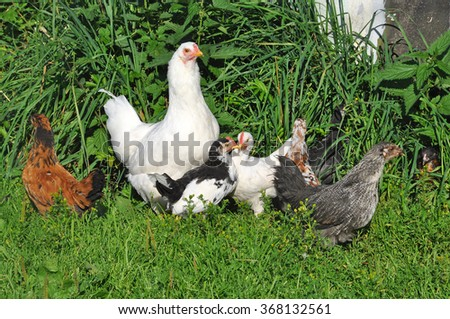 Hen with chicks pecking in the green grass - stock photo