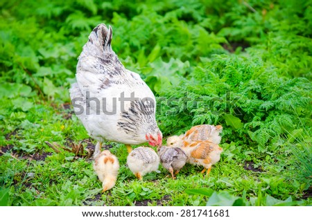 Hen with chicks pecking in the green grass on a sunny day with vibrant colors and a natural healthy home grown look - stock photo