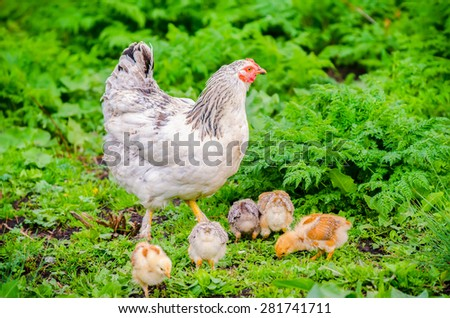 Hen with her small chicks pecking in a garden with fresh green grass suggesting organic home grown poultry - stock photo