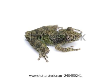 Henle's snouted treefrog (Scinax pedromedinae) - stock photo