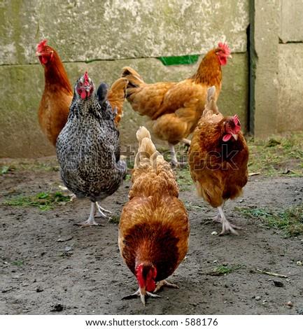 Hens - stock photo