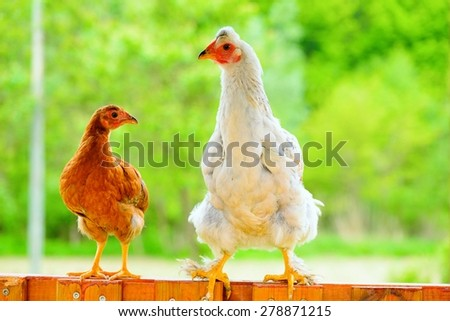 Hens and chickens raised on organic farm - stock photo