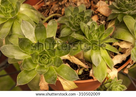 Hens and chicks plant. - stock photo