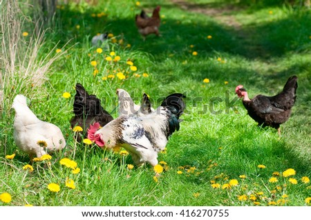 Hens and rooster in the meadow - stock photo