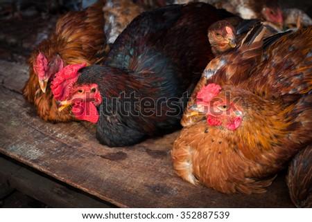 Hens in a free range farm. - stock photo