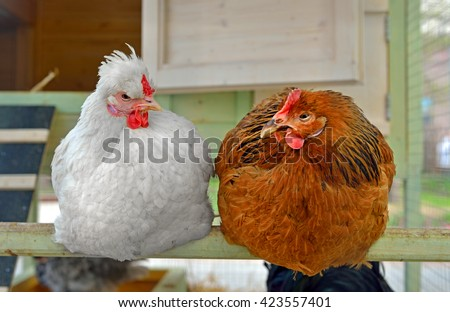 Hens in hen house sitting on perch - stock photo