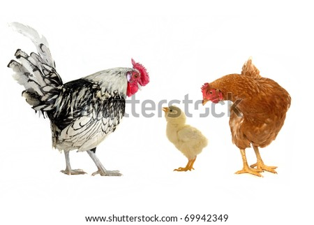 hens on a white background - stock photo