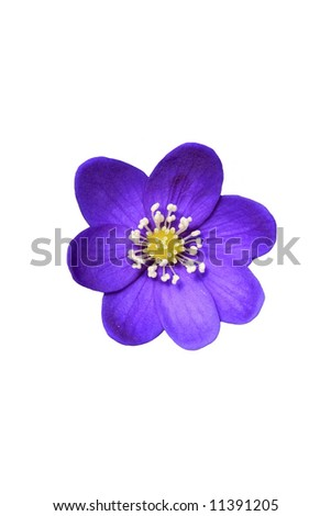 Hepatica isolated - stock photo