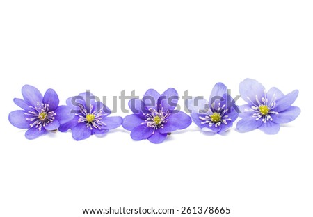 Hepatica nobilis on a white background - stock photo