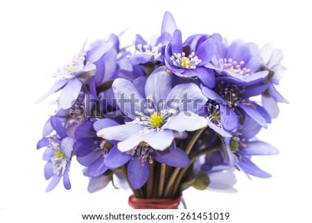 Hepatica nobilis on a white background - stock photo