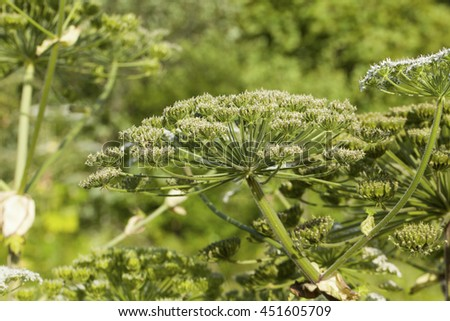 Heracleum Sosnowskyi or Sosnowsky's Hogweed, is a flowering plant .All parts of plant contain the intense toxic allergen furanocoumarin.