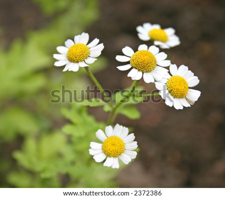 Herb camomiles on a green meadow - stock photo
