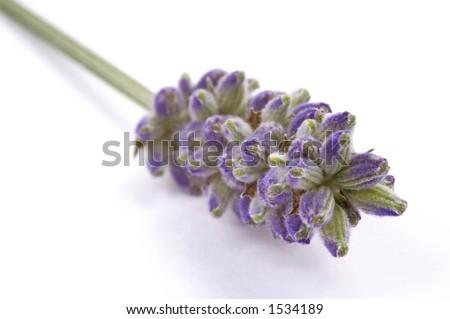 herb. lavender - stock photo