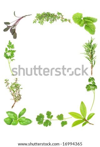 Herb leaf selection forming a frame of fresh organic basil, silver thyme, flat leaved parsley, purple sage, common thyme, lemon balm, rosemary, curly parsley, bay and  coriander. Over white.