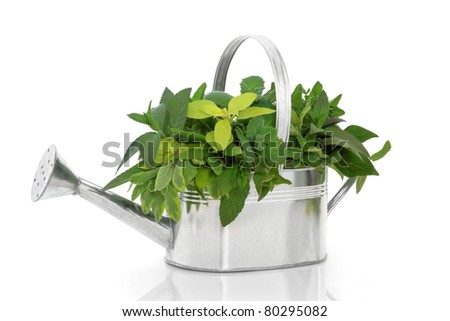 Herb leaf sprigs of rosemary, bay, oregano, golden marjoram, variegated and purple sage in a rustic silver metal watering can, isolated over white background. - stock photo