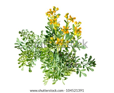 Herb of Grace on white background - stock photo