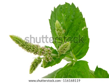 Herb plant mint bloom and leafs isolated on white background. Natural folk medicine. - stock photo