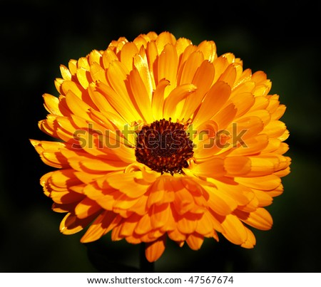 herb pot marigold - stock photo