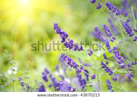 herbal landscape of aromatic plant - stock photo
