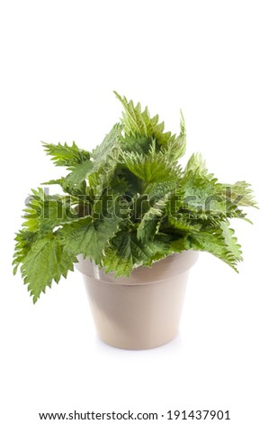 Herbal medicine: Common nettle leaves in pot isolated on white background. Urtica dioica, often called common nettle or stinging nettle.Use as a medicine, as a food source and as a source of fibre. - stock photo