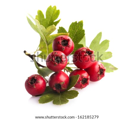 Herbal medicine: Crataegus commonly called hawthorn, thornapple and hawberry isolated on white background - stock photo