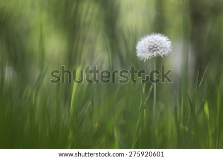 Herbal spring background withered dandelion in the grass - stock photo