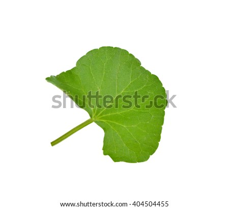 Herbal Thankuni leaves of indian subcontinent, Centella asiatica,gotu kola on white background. - stock photo