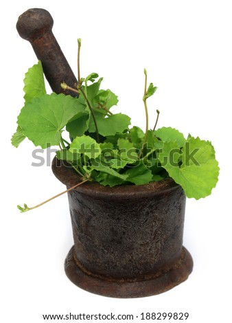 Herbal thankuni leaves with a vintage mortar over white background - stock photo