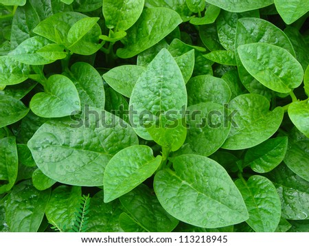 Herbal vegetable with droplets of water on green leaves - stock photo