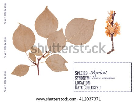 Herbarium of pressed parts apricot tree. Leaves, twigs and tree flowers apricot isolated on white - stock photo