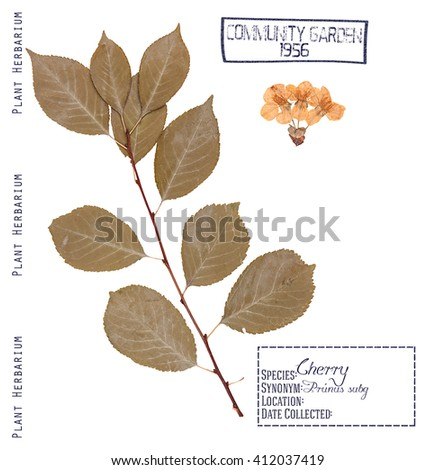 Herbarium of pressed parts cherry tree. Leaves, stem and flowers of cherry tree isolated on white - stock photo