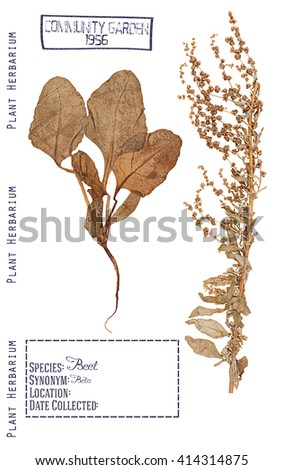 Herbarium of pressed parts of the plant beet. Stem, leaves, root and flowers isolated on white - stock photo